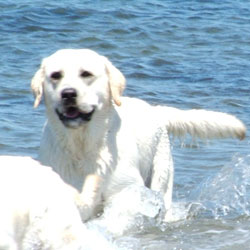 Spirit_Oaks_Cuttyhunk_Salty_Yellow_Labrador_Retriever_Big